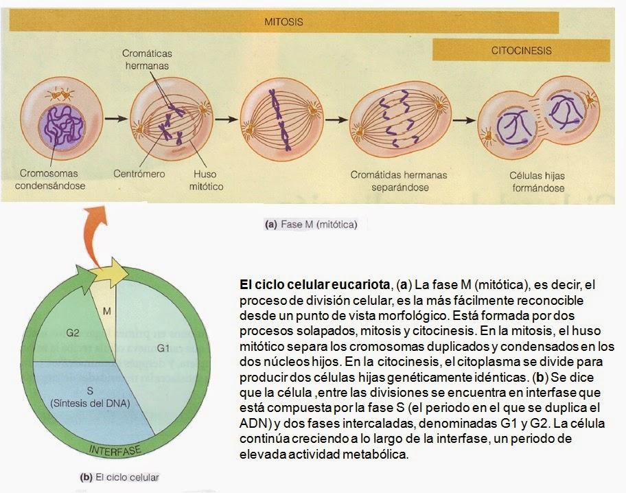 Cáncer | Apuntes de Biología Molecular
