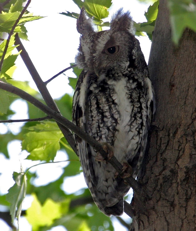 how to draw a eastern screech owl