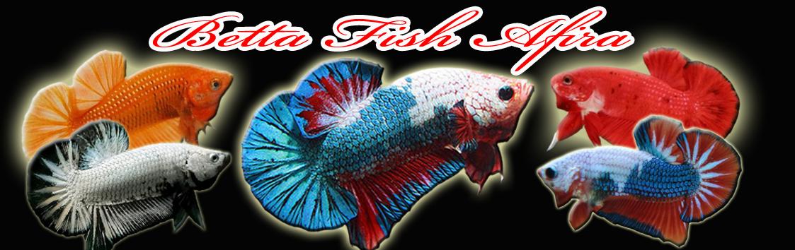 Betta Fish Afira