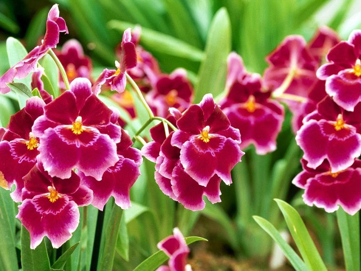 hình nền hoa lan cho pc