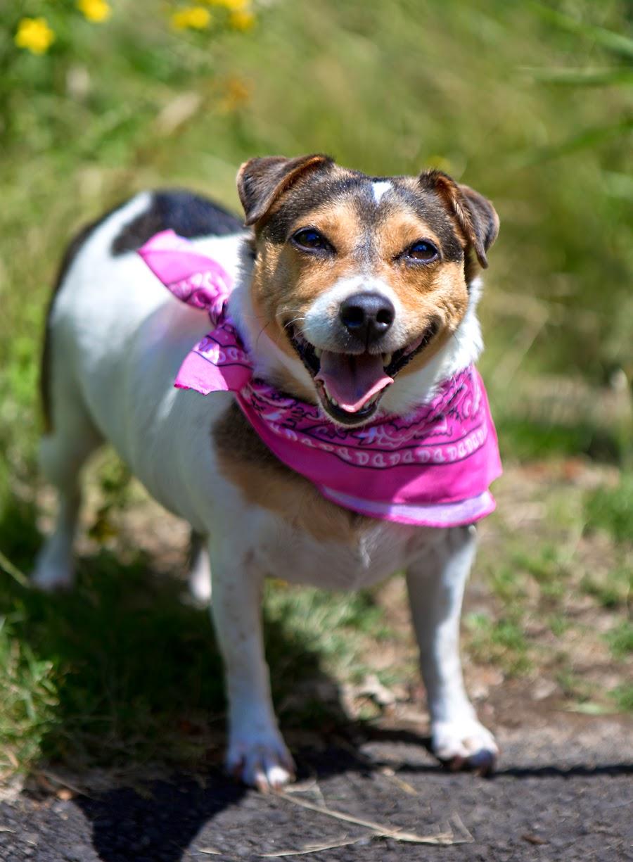Amazing Beagle Chubby Adorable Dog - 559428a3  Gallery_68622  .jpg