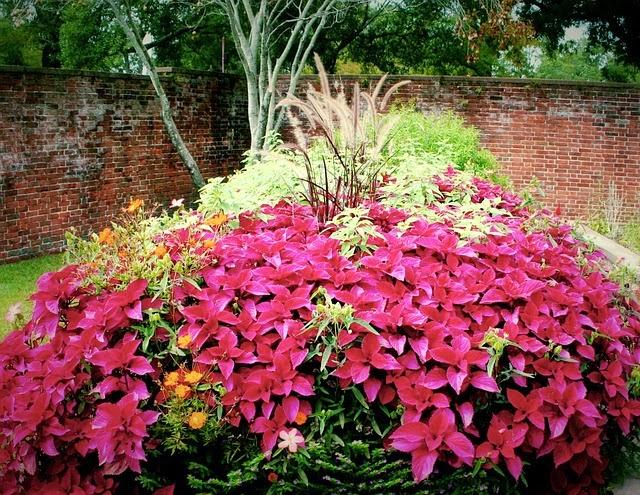 red coleus garden: http://pixabay.com/en/red-coleus-flowers-garden-plants-60836/