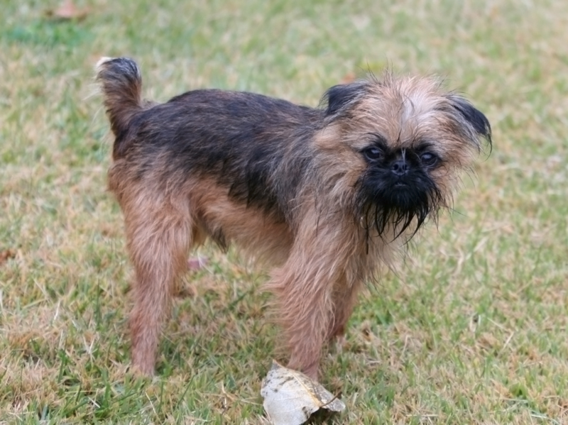 Brussels Griffon Toy Dog