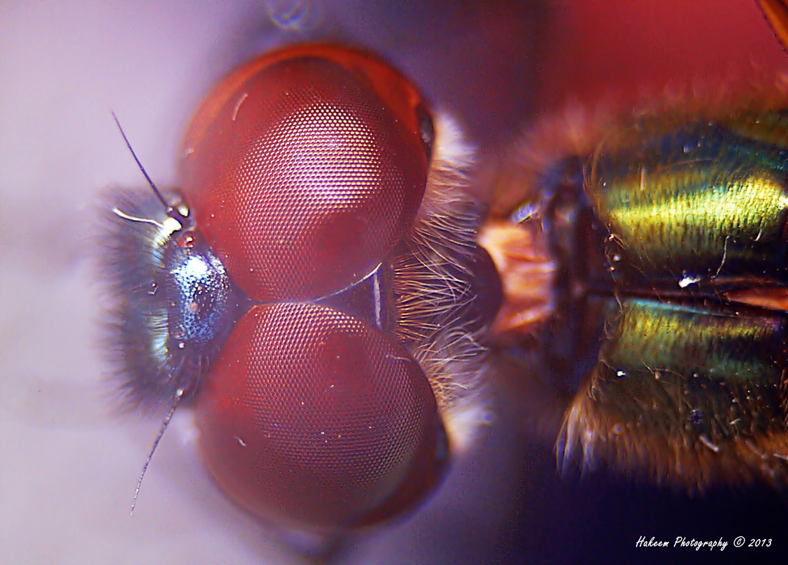 Facet eye of Dragonfly