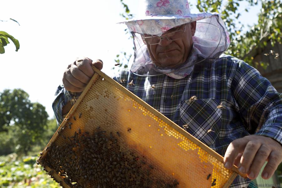 Пасечник осматривает рамку с сотами, только что достав ее из пчелиного улья.