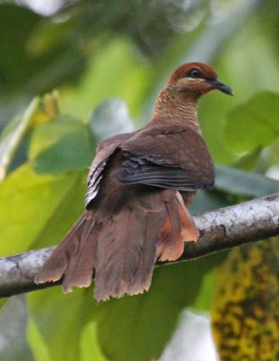 Dusky cuckoo dove