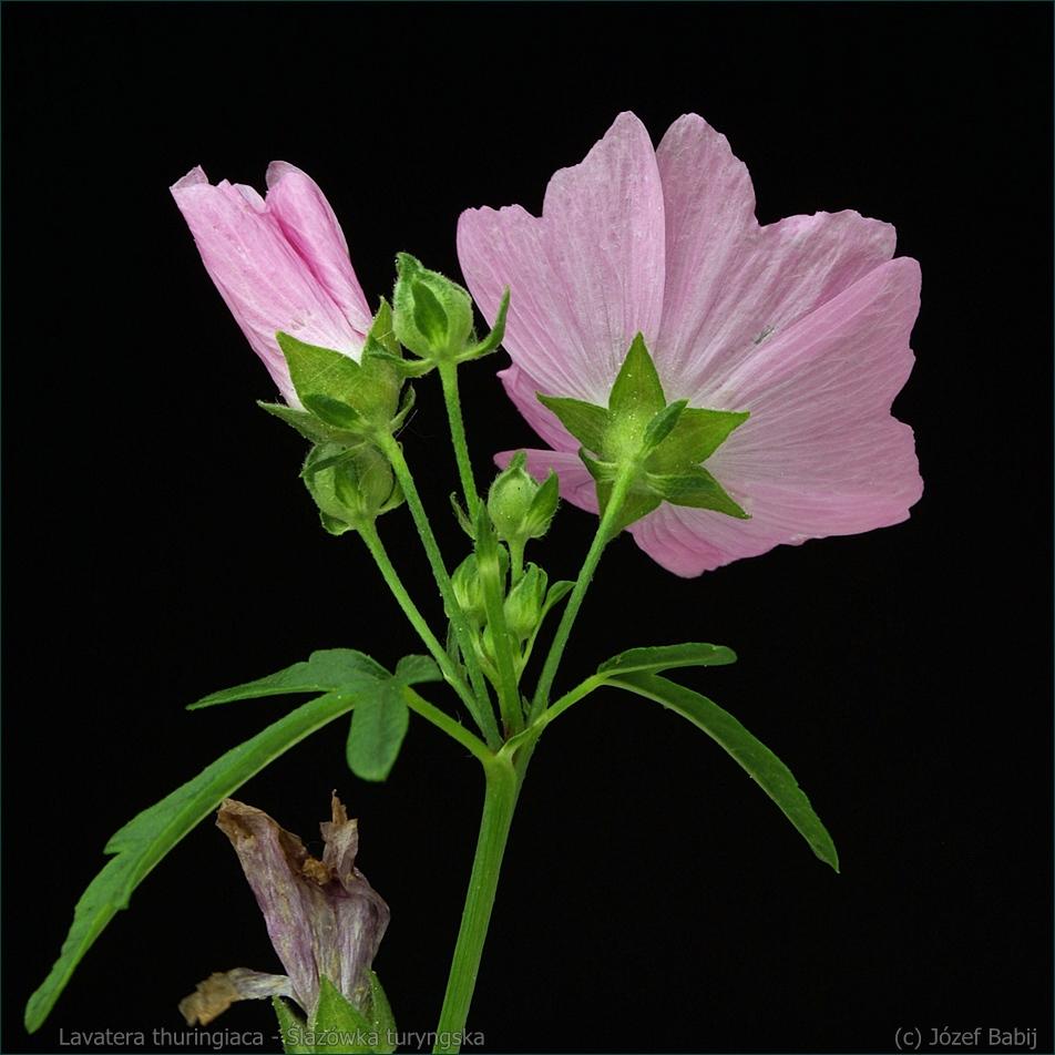 Lavatera thuringiaca - Ślazówka turyngska kwiatostan