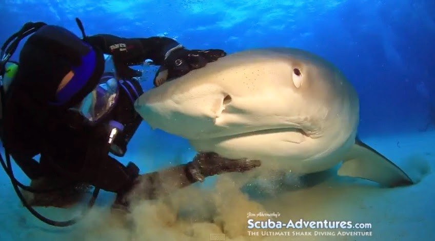 Jim Abernethy swims and shows love for a tiger shark at tiger beach