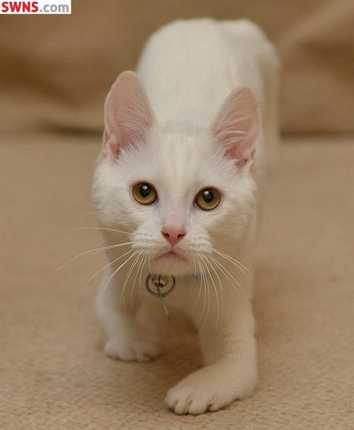 Gato que nasceu sem ossos nas pernas da frente é salvo de dono cruel