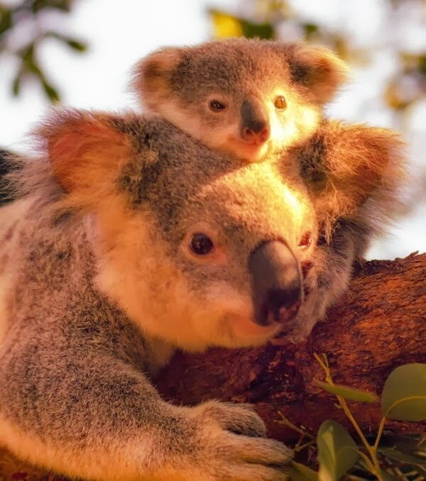 Funny animals of the week - 27 December 2013 (40 pics), baby koala and mommy koala
