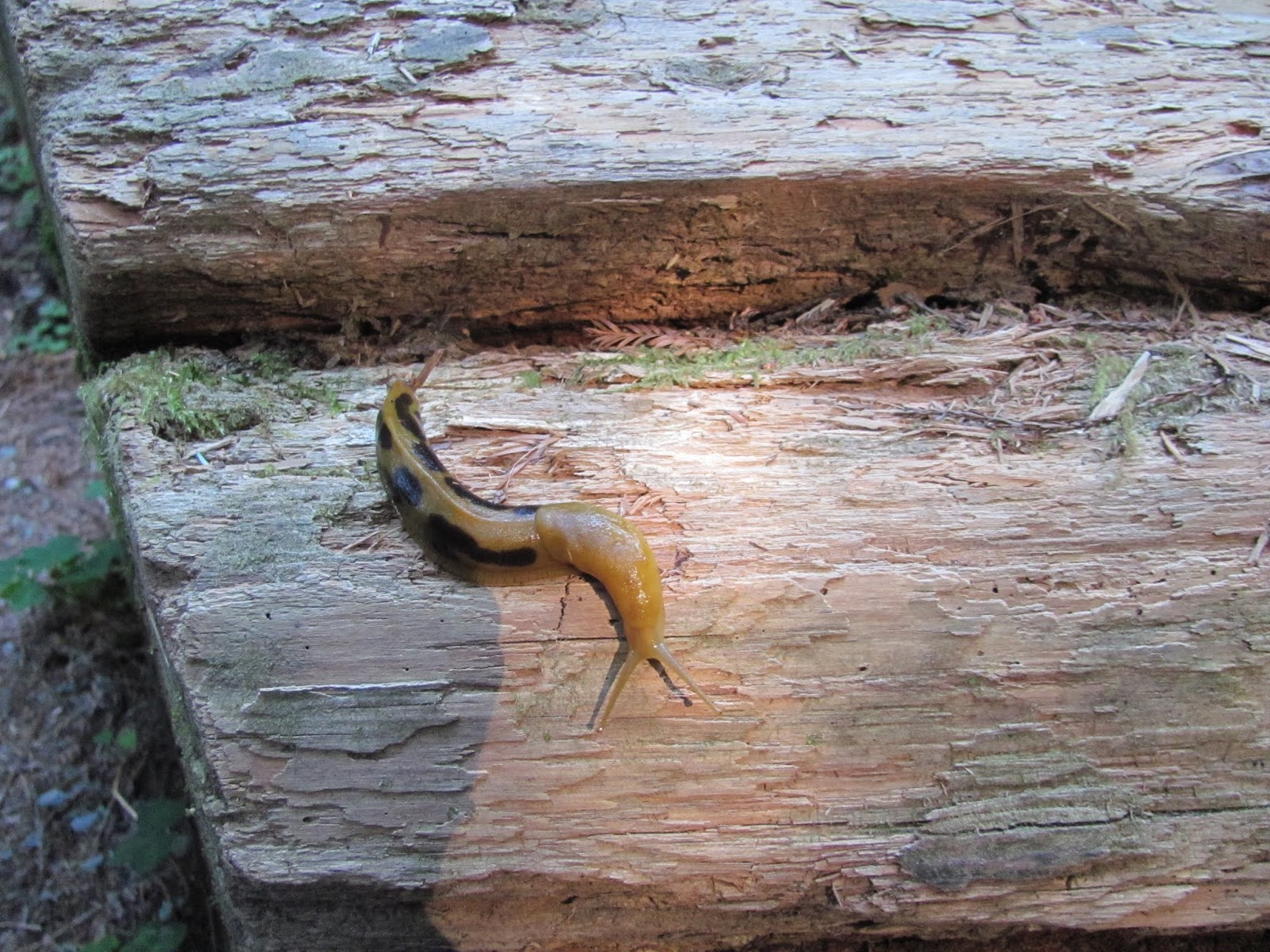 A banana slug makes its way across a fallen stump at Jedediah Smith State Park, California