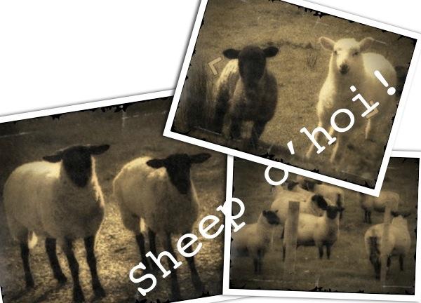 Sheep o'hoi!
