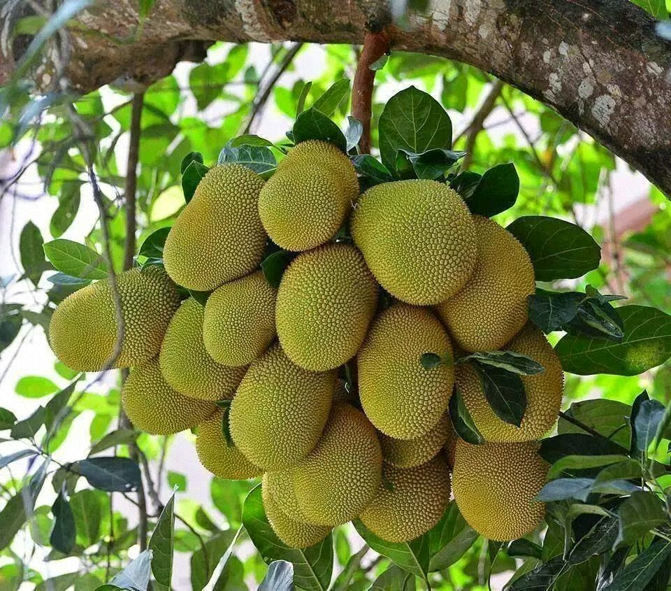 Jack Fruit Plant Fruit Trees Nursery