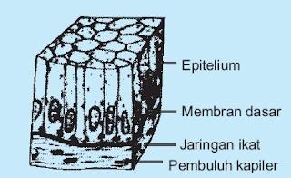 jaringan Epitelium silindris selapis