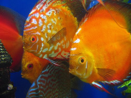 Breeding Discus Fish Pictures