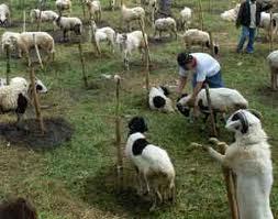 cara ternak kambing download