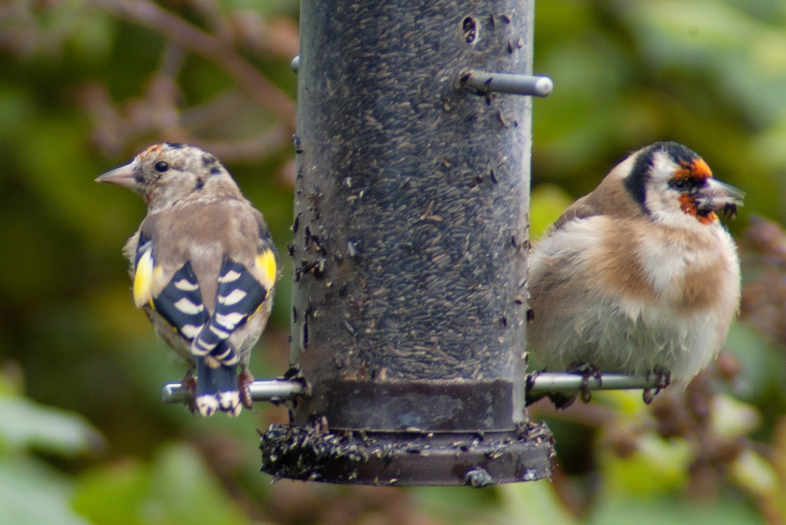 Goldfinch young and old
