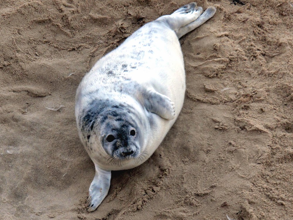 Winterton-on-Sea seals, Norfolk