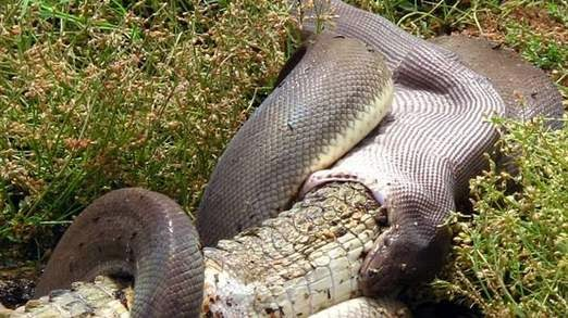 Snake Eats Crocodile After Four-Hour Battle