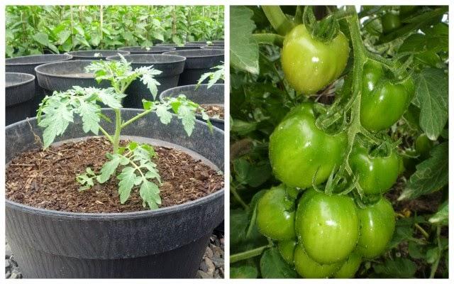 Cara Menanam Tomat dalam Polybag yang Benar