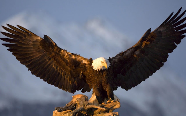 Photo of a ig eagle spreading his wings and trying to take off