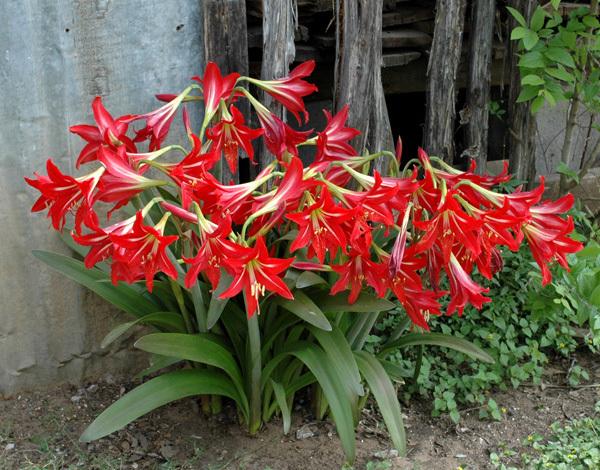 Flowers planets red amaryllis for Amaryllis jardin