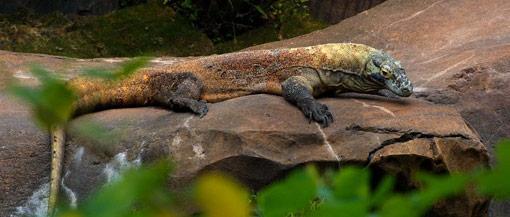 """Komodo Resmi Jadi """"New 7 Wonders of Nature"""""""