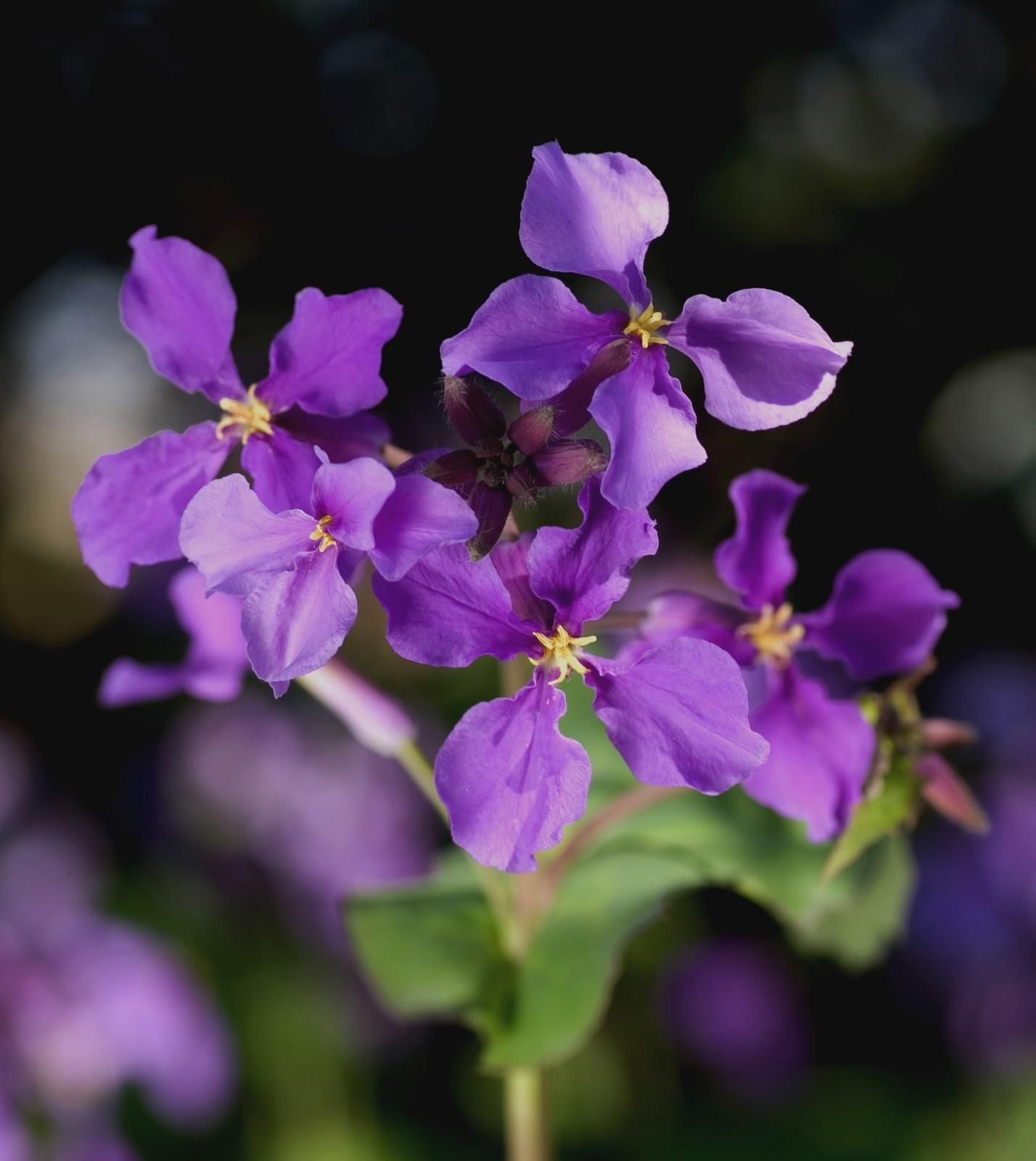 紫草花科植物