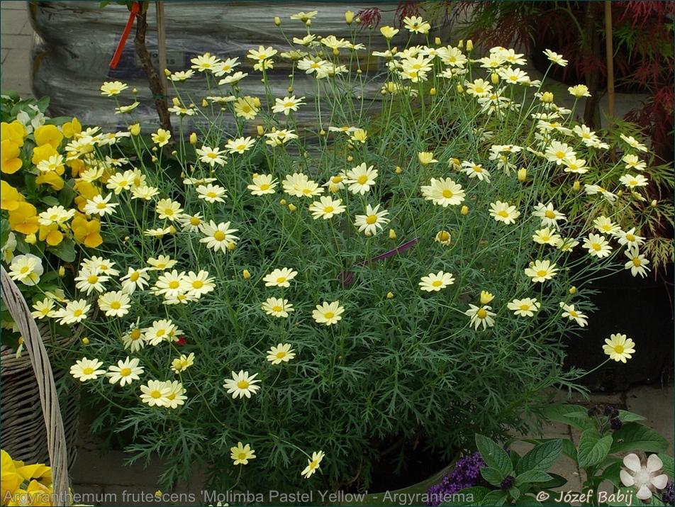 Argyranthemum frutescens 'Molimba Pastel Yellow' - Argyrantema krzewiasta