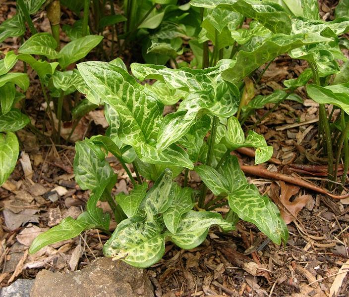 Imagenes de plantas sin flores for 5 nombres de plantas ornamentales