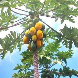 http://4.bp.blogspot.com/-avKueU0qtqE/U8qMwUMWgcI/AAAAAAAAAUU/uSHTbmpQ_8E/s1600/papaya-tree.png