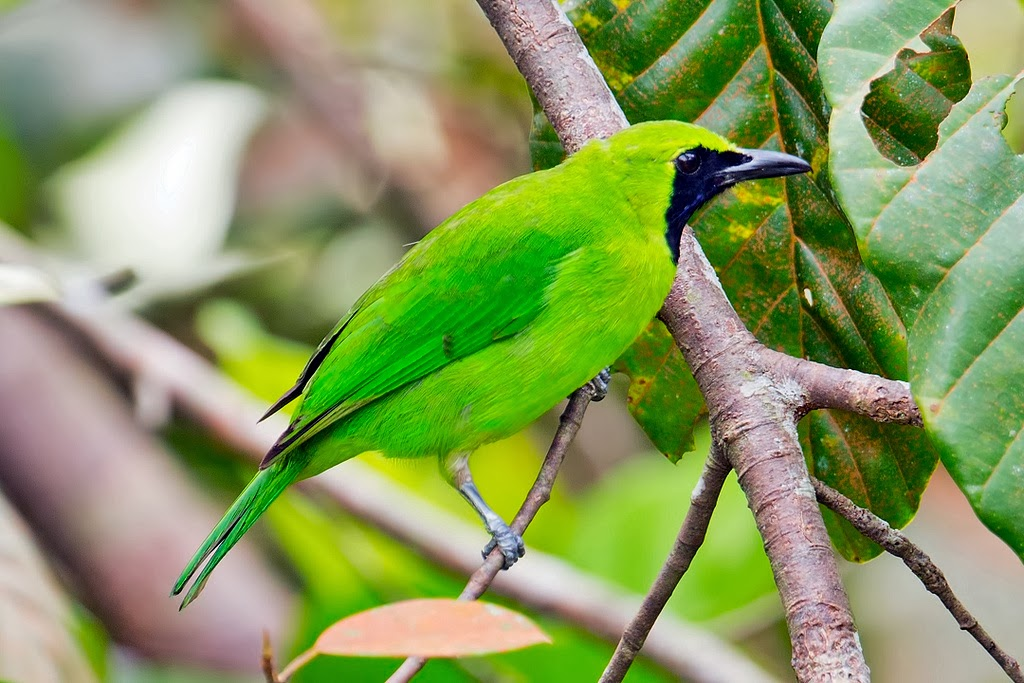 Foto Burung Cucakrawa Cucak Ijo Harga Mahal