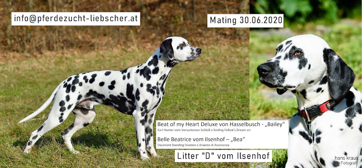 Dalmatiner vom Ilsenhof