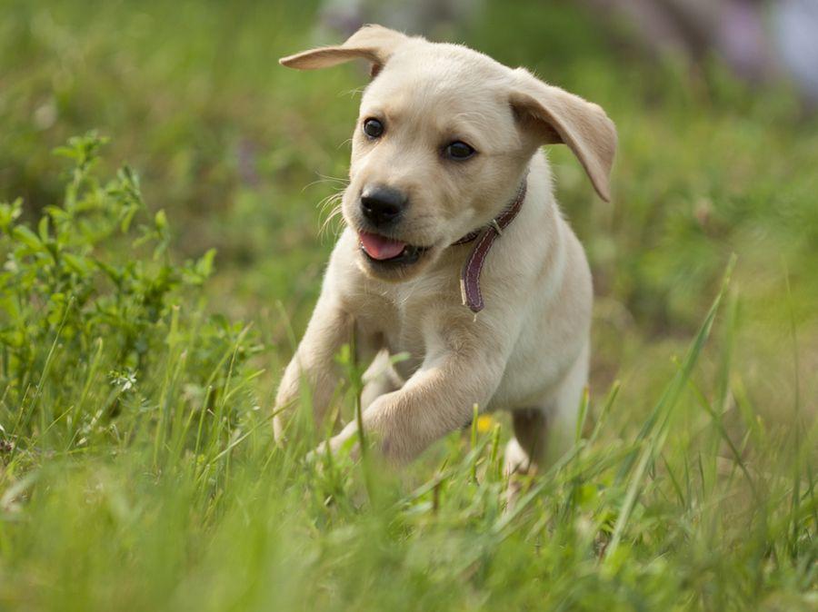 6. Labrador PuppyTobynko by Veronika Krupová