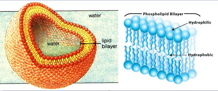 11 lipids triglycerides and phospholipids biology