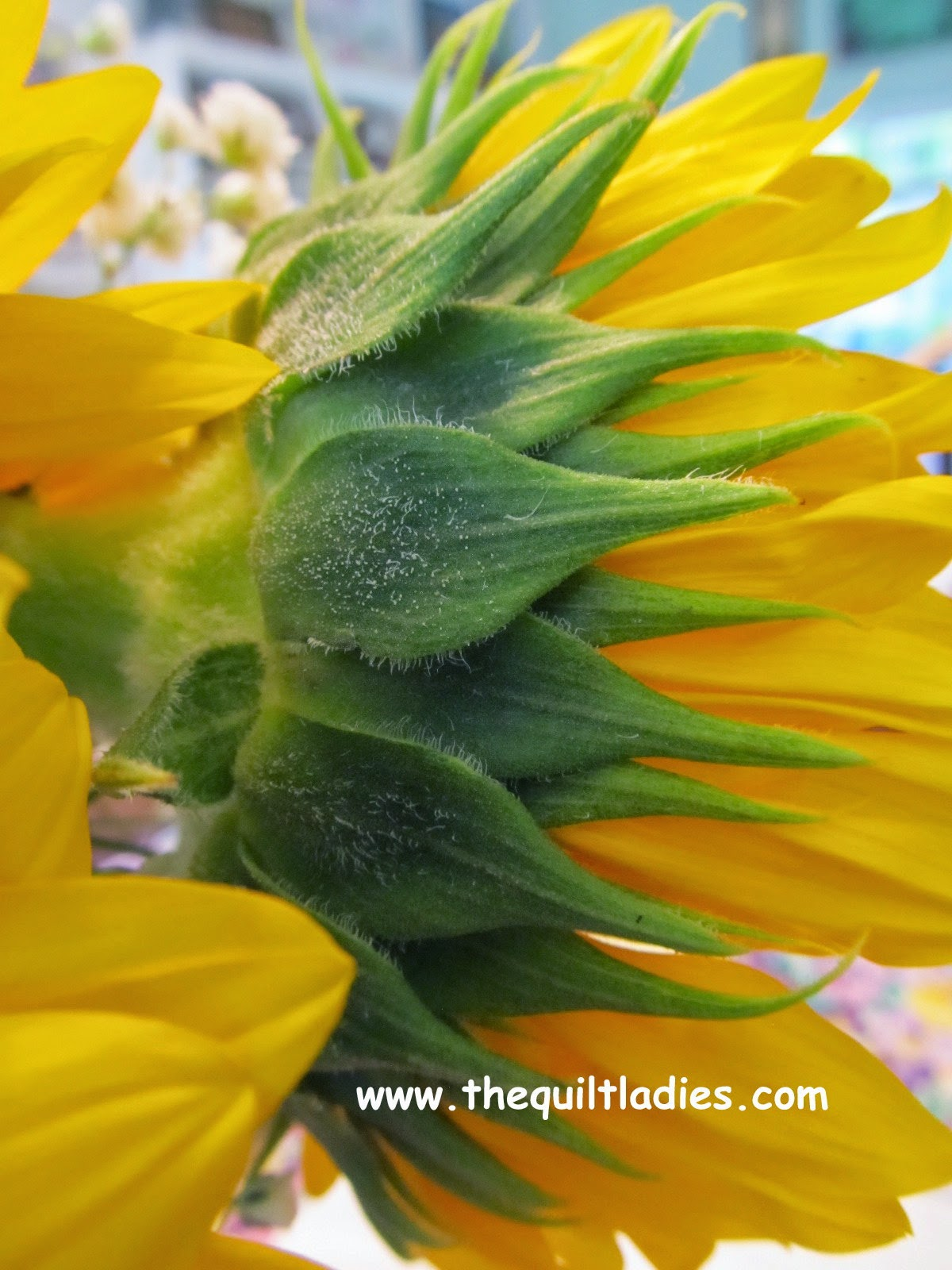 Sun Flower Green Back Beth Ann Strub (c) All Rights Reserved