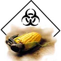Produção de milho geneticamente modificado pode chegar a 85% em 2012!