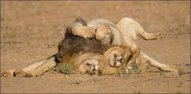 Three lion brothers hang out together
