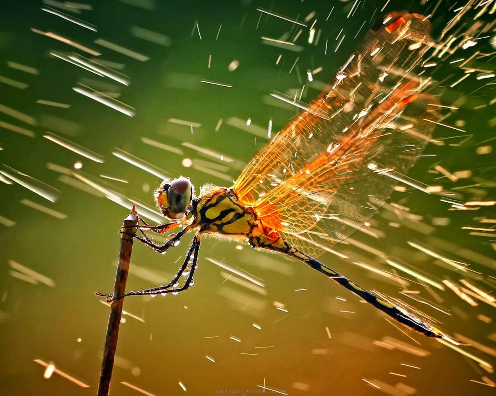 Dragonfly Wallpaper