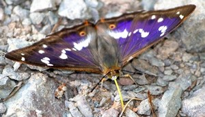 Purple Emperor