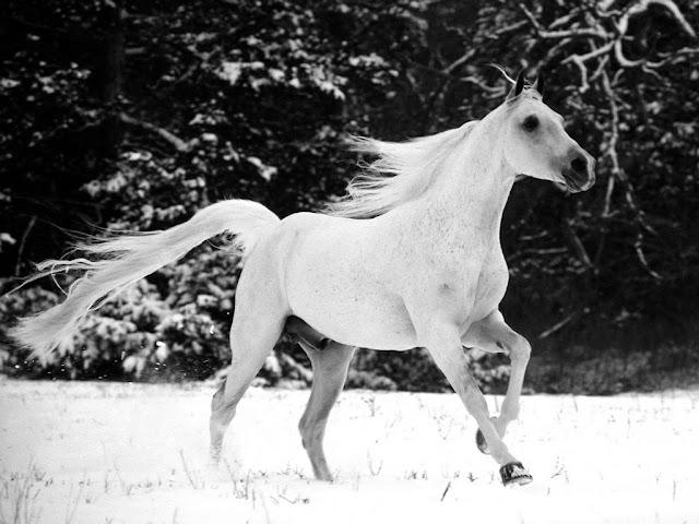 White Horse Desktop Wallpaper