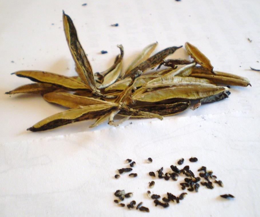 хоста из семян фото