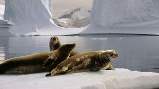 Seals Wallpapers