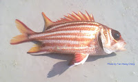 Redcoat, Red striped   Squirrelfish