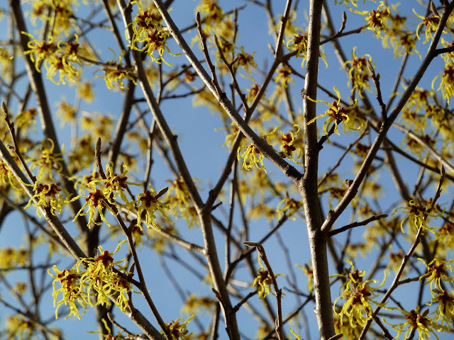 Yellow Witchhazel hybrid in the winter sun, Brooklyn Botanic