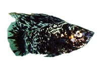 Mollies in Aquariums; Molly Disease, Shimmies | 200 x 144 jpeg 8kB