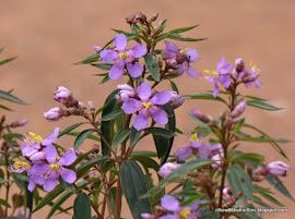 Straits Rhododendron, Melastoma malabathricum (all year)