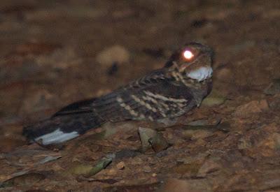 Large-tailed Nightjar (Caprimulgus macrurus)