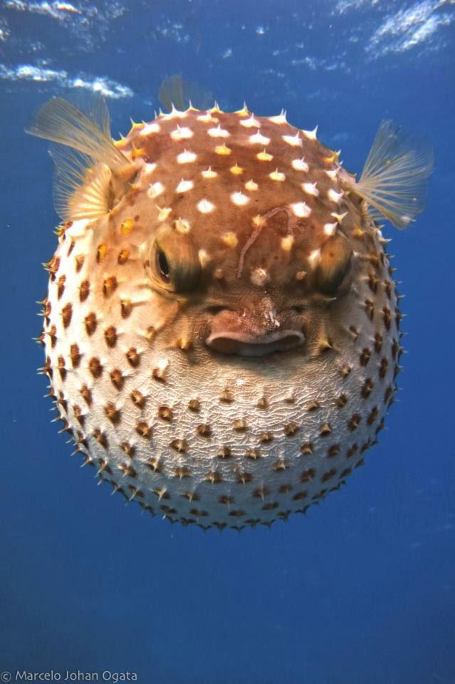 Le top 11 des poissons qui foutent les boules scientific - Poisson moche ...