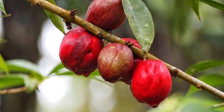 Mahkota Dewa dan Mengkudu : Obat Herbat Kanker